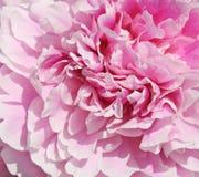 Flor de la peonía imagen de archivo libre de regalías