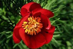 Flor de la peonía Foto de archivo libre de regalías