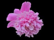 Flor de la peonía 12 Foto de archivo libre de regalías