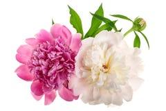 Flor de la peonía aislada en el cierre blanco del fondo para arriba Foto de archivo libre de regalías