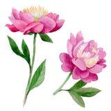 Flor de la peonía del Wildflower en un estilo de la acuarela aislada Fotografía de archivo
