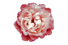 Flor de la peonía en el fondo blanco, colores artificiales imágenes de archivo libres de regalías
