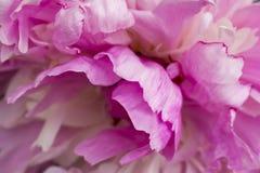 Flor de la peonía rosada, primer, fondo Imagen de archivo libre de regalías