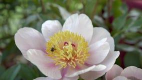 Flor de la peonía y abeja de la miel metrajes