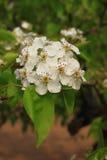 Flor de la pera Fotos de archivo