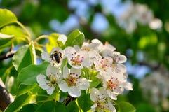 Flor de la pera con la abeja Imágenes de archivo libres de regalías