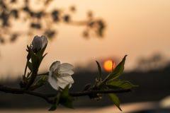 Flor de la pera en la puesta del sol Foto de archivo libre de regalías