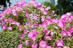 Flor de la petunia Foto de archivo