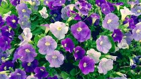 Flor de la petunia almacen de metraje de vídeo
