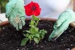 Flor de la petunia de la fertilización Fotos de archivo