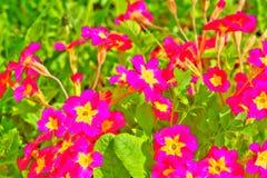 Flor de la petunia Jardín del resorte Fotos de archivo