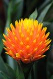 Flor de la piña Fotos de archivo
