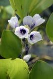 Flor de la planta acuática Fotografía de archivo