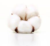 Flor de la planta de algodón Foto de archivo libre de regalías