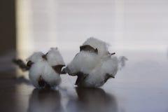 Flor de la planta de algodón Foto de archivo
