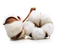 Flor de la planta de algodón Imagen de archivo