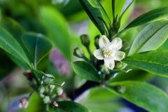 Flor de la planta de la coca imagenes de archivo