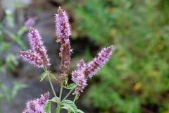 Flor de la planta de la hierbabuena en día de la luz del sol Imagenes de archivo