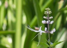 flor de la planta de las Gato-barbas (aristatus de Orthosiphon) Foto de archivo libre de regalías