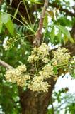 Flor de la planta de Neem Foto de archivo libre de regalías