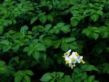 Flor de la planta de patata en flor Imagen de archivo libre de regalías