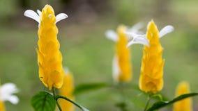 Flor de la planta del camarón de Acanthaeae Fotos de archivo