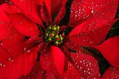 Flor de la poinsetia Imagen de archivo
