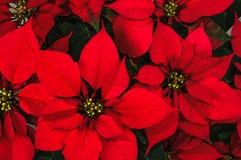 Flor de la poinsetia Imagen de archivo libre de regalías