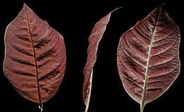 Flor de la poinsetia Foto de archivo libre de regalías