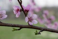 Flor de la primavera con la flor rosada imagen de archivo