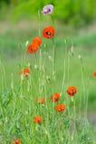 Flor de la primavera de amapolas salvajes Foto de archivo libre de regalías
