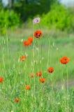 Flor de la primavera de amapolas salvajes Imagen de archivo