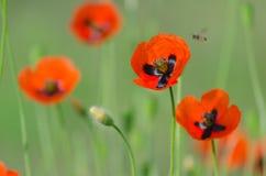 Flor de la primavera de amapolas salvajes Imagenes de archivo