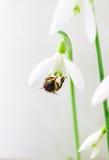 Flor de la primavera de Snowdrop con una abeja Foto de archivo libre de regalías