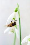 Flor de la primavera de Snowdrop con una abeja Imágenes de archivo libres de regalías