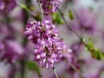 Flor de la primavera del árbol de Judas Fotos de archivo