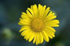Flor de la primavera del Doronicum Fotografía de archivo