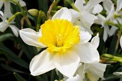 Flor de la primavera del narciso Fotografía de archivo