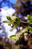 Flor de la primavera del peral salvaje foto de archivo