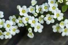 Flor de la primavera del thumbergii de Spirea Fotografía de archivo