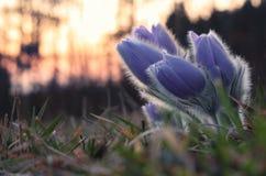 Flor de la primavera después de la puesta del sol Fotografía de archivo