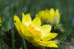 Flor de la primavera, el ojo del faisán Fotos de archivo