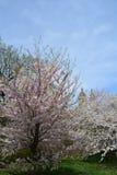 Flor de la primavera en Central Park Imagen de archivo libre de regalías