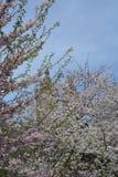 Flor de la primavera en Central Park Foto de archivo