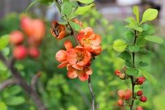 Flor de la primavera en el jardín Fotografía de archivo libre de regalías