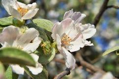 Flor de la primavera en un árbol Fotografía de archivo libre de regalías