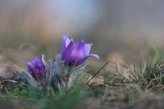 Flor de la primavera (grandis del Pulsatilla) Foto de archivo libre de regalías