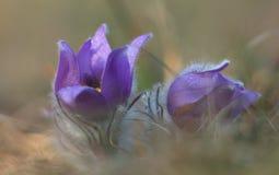 Flor de la primavera (grandis del Pulsatilla) Imagenes de archivo