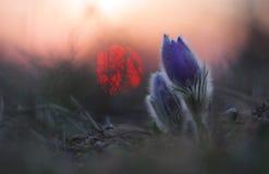 Flor de la primavera (grandis del Pulsatilla) Fotos de archivo