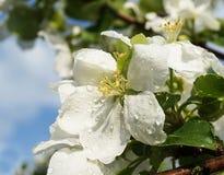 Flor de la primavera a los árboles del aple en jardín Imagenes de archivo